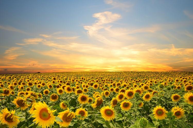Ayçiçeği ve Yağı – Aspir Tohumu Gözetim Kıymet Değişikliği